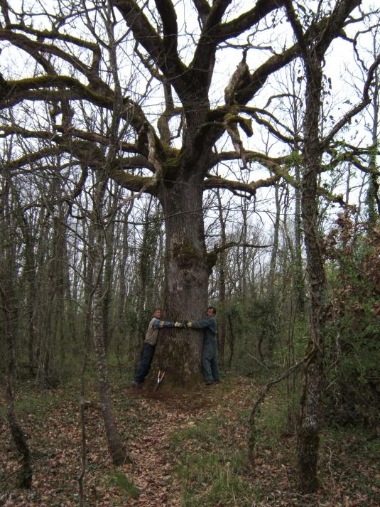 Le chêne des Gleyettes